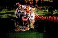Water tiger